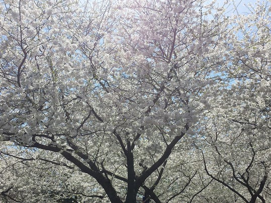 """Cindy Gaeckler Rose of Dallastown submitted this photo to the YDR Nature and Scenery gallery Apr. 15. Gaeckler Rose writes, """"Cherry Blossoms in DC.""""  Submitted"""