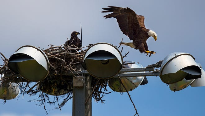 A bald eagle lands atop its new nest as it prepares to feed its eaglets Wednesday, afternoon in Cape Coral, May 23, 2018. City spokeswoman Connie Barron said two baseball fields at the Cape Coral Sports Complex remain closed after a nesting pair of eagles were kicked out of their nest to the south of the property by great horned owls.The two eagles and their eaglets relocated to an osprey platform built on top of light post by the baseball fields at the sports complex. Adjacent baseball activity made the eagles nervous so the city had to close those fields and relocate the games.The city expects the fields to reopen soon once the eaglets fledge. She said this is the first time any of the city's sports fields have closed because of this.