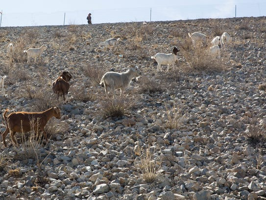 A herd of goats penned atop Las Cruces Dam is tasked
