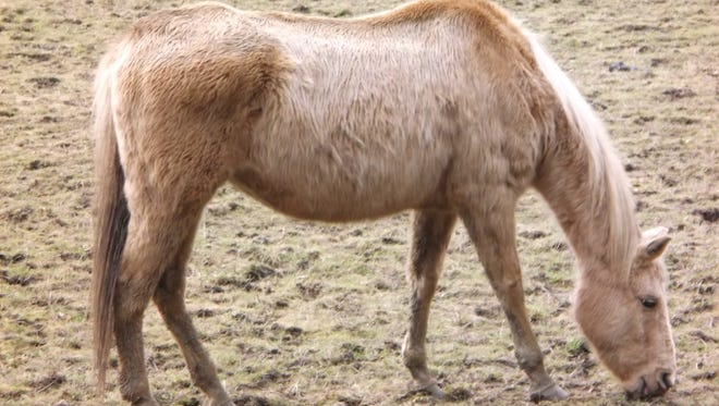 One of the 22 animals seized at a farm 16 miles south of Dallas. Some of the 16 horses, three llamas and three goats may have to be euthanized, according to the Polk County Sheriff's Office.