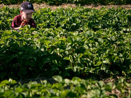 MNH Strawberry Picking SA.JPG