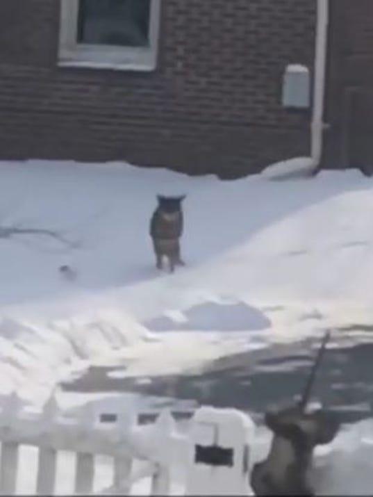 636511699950920926-coyote-pic.JPG
