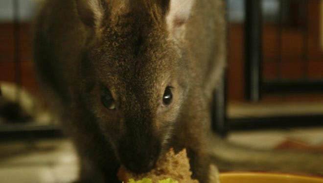 (File Photo) Boomer, an 8-month-old wallaby, eats fruit, vegetables and bread in Nyack on Sept. 4, 2007. Another wallaby, Indy, went missing from his North Salem home in March and remains on the loose.