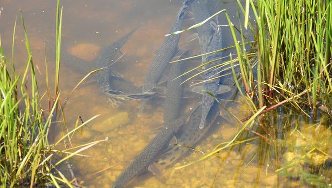 A pod of longnose gar spawn in the shallows of Lake Poygan.