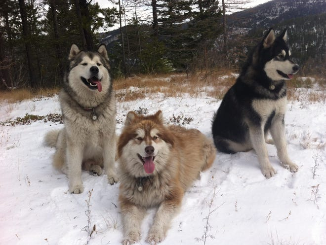 Layne Spence's three dogs, Rex, Little Dave and Frank, from left to right, go with him everywhere. Little Dave, center,  was killed by a hunter who mistook him for a wolf Nov. 17.