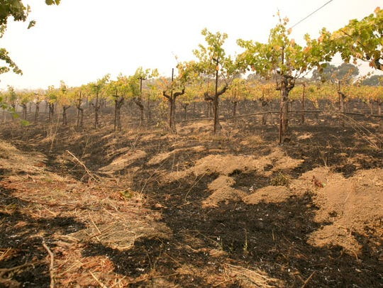 Grape vines sit among the scorched ground at the Robert