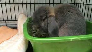 Rudy is a lop rabbit who likes children and likes to play.  He is litter-box trained and would love to explore your forever home.