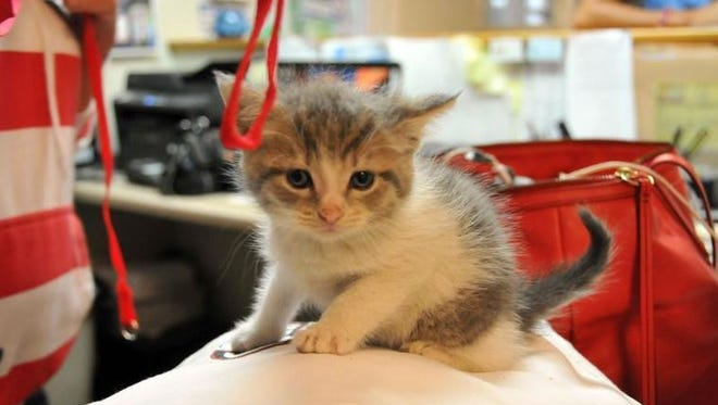 This small female feline is doing fine at the Ottawa County Humane Society after being wrapped in a plastic bag and thrown from a minivan Thursday at the Hy-Miler in Port Clinton.