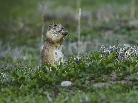 Prairie dogs keep watch from a burrow Thursday at the