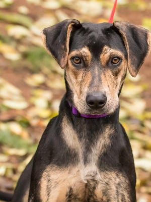 Cookie is the Kitsap Humane Society's Pet of the week.