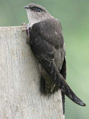 Chimney swifts are fascinating birds that can be found in your backyard or a nearby chimney.