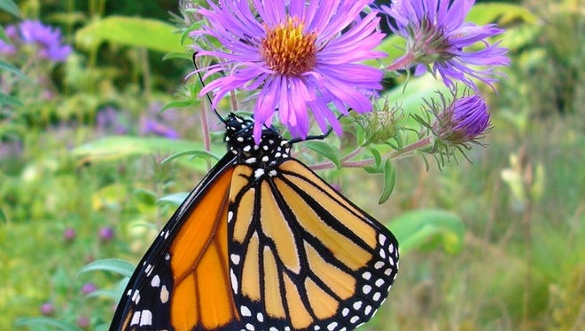 The monarch butterfly population has declined, but conservation efforts are rising.