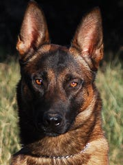Belgian Malinois K9's can be trained to detect drugs,