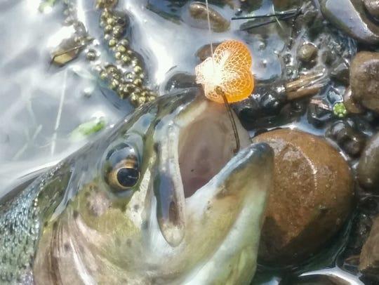A fish caught at Bushkill creek in Pennsylvania.