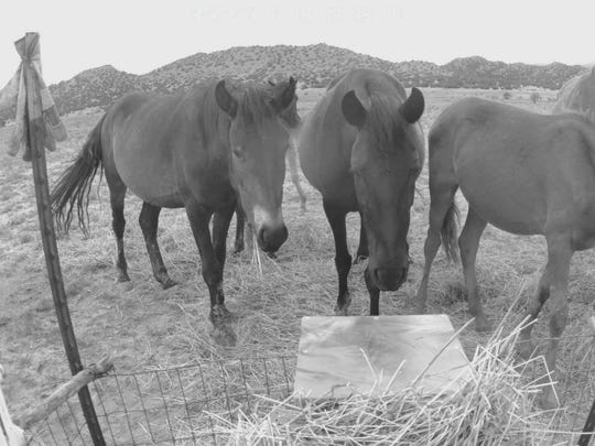 Horses are seen in a trail-cam photo taken by Roch Hart. Hart and his company, Wildlife Protection Management, received assistance from New Mexico State University's Arrowhead Center AgSprint program to develop an innovative, scalable and humane feeding station for wild horses that is equipped with the capability for remote injection of contraceptives. This patent-pending method is conducted with remote delivery. After the horse has placed itself in the proper position, an operator nearly 300 miles away is able to dispatch the injection via video surveillance and controls.