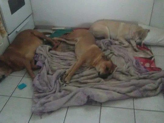 Danny Davis' dogs Buddy, Blondie and Tiny.