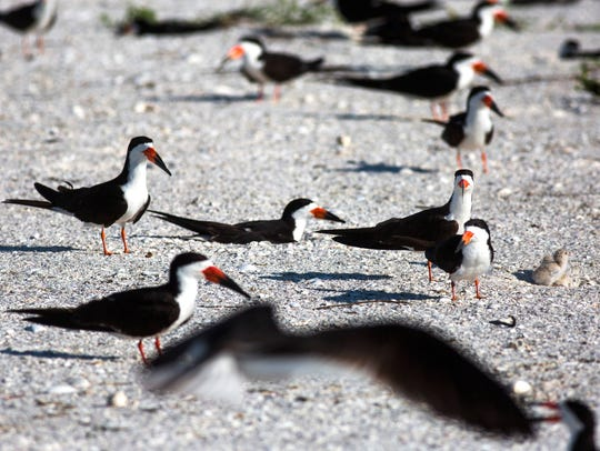 Black skimmers sit on their nests to protect their
