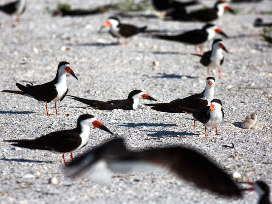 Black skimmers sit on their nests to protect their chicks on Tuesday, July 3, 2018 near Big Marco Pass. If the birds leave their nests for as little as five minutes during the hottest time of the day, the eggs could die.