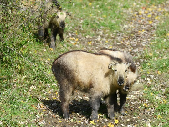 A trio of Sichuan Takin babies at the Wilds. They are