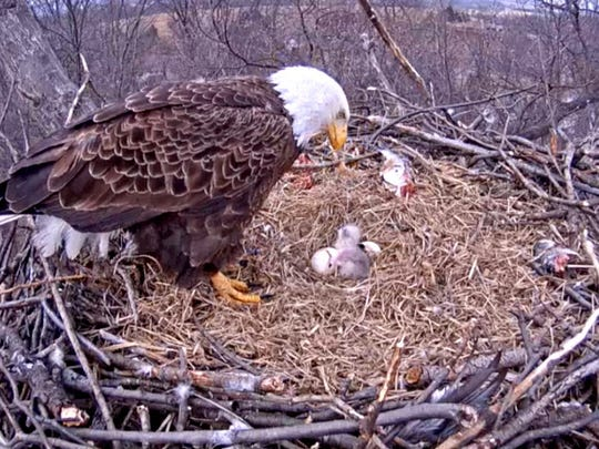 An eagle in Codorus State Park checks on a newly hatched eagle Tuesday, March 24, 2015 in this image from the eagle cam installed by the Pennsylvania Game Commission.