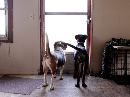 Max, right, and Snoop, watch out the window of their home in Churchville on Thursday, March 10, 2016. Their owner Ricky Short went to rescue Max from a cliff in on Monday night after locating his missing dog with the help of his beagle, Snoop.