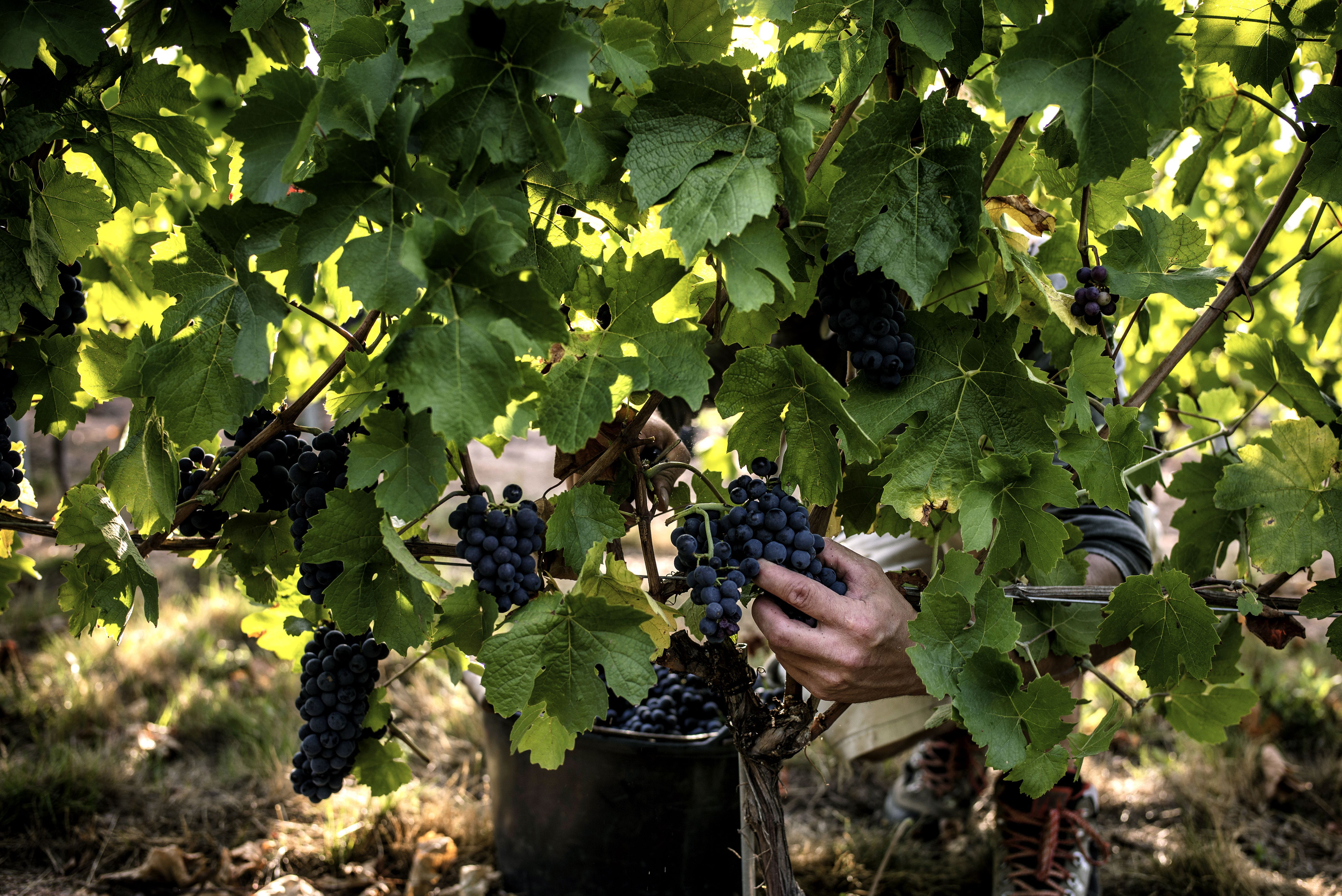 Impossible is possible Planting grapes in Siberia