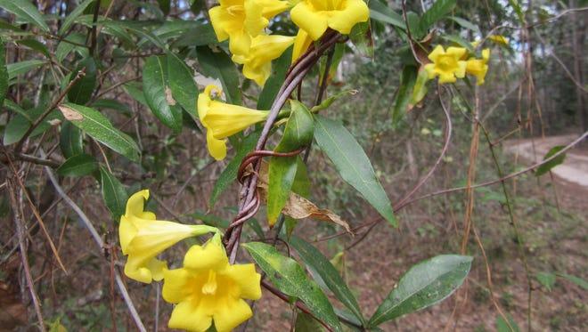 Yellow jessamine in bloom.