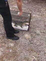 Martin County sheriff's deputies took a baby alligator