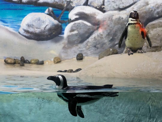 Penquins swim in their habitat at Jenkinson's Aquarium