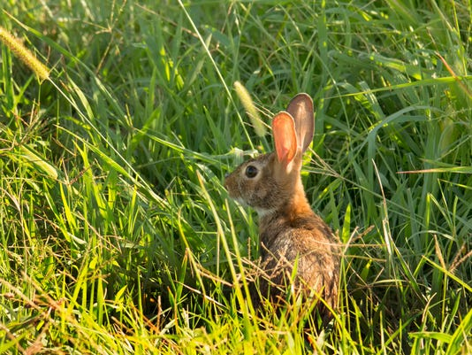 Small rabbit hiding in grass