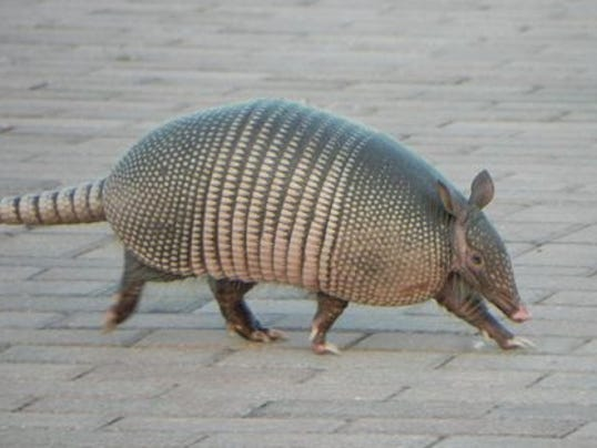 Floridians Urged To Avoid Leprosy Infected Armadillos