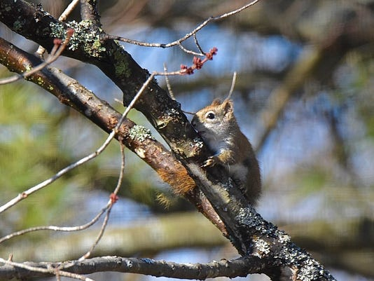 636239827361521802-Marsi-squirrel.jpg