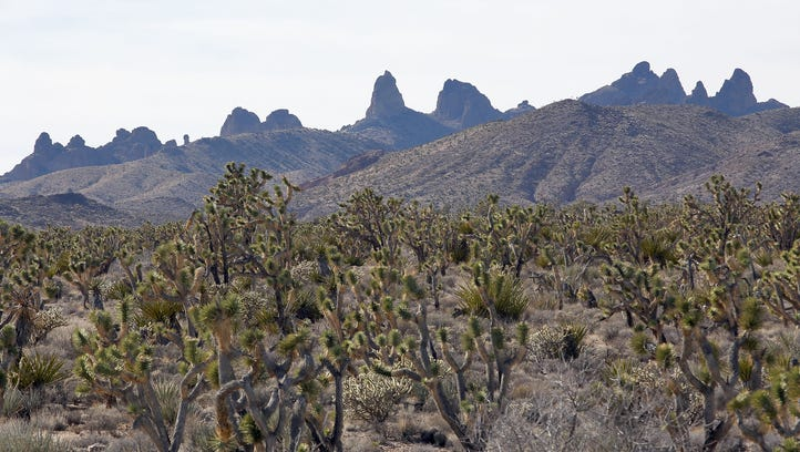 A lush expanse of Joshua trees in a valley below the