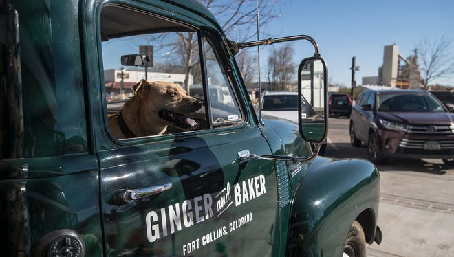 Ginger and Jack Graham's dog, Jed, hangs out in a 1954 Chevrolet truck on the side of the building, Monday, Nov. 13, 2017, after the ribbon cutting ceremony of the Ginger And Baker restaurant at the corner of Linden Street and Willow Street in Fort Collins, Colo.