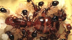 Fire ant queen is surrounded by other ants in this