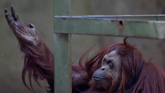 """The orangutan named Sandra sits in her enclosure at Buenos Aires' Zoo in Buenos Aires, Argentina, Monday, Dec. 22, 2014. An Argentine court has ruled that Sandra, who has spent 20 years at the zoo, should be recognized as a person with a right to freedom. The ruling would free Sandra from captivity and have her transferred to a sanctuary in Brazil after a court recognized the primate as a """"non-human person"""" which has some basic human rights."""