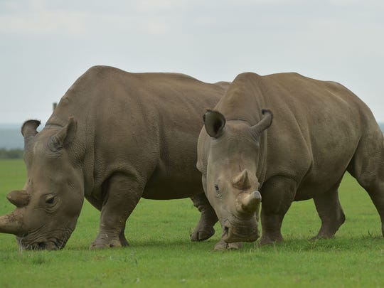 Najin, left, and Fatu, the two remaining Northern White Rhino, graze together in their paddock at the ol-Pejeta conservancy in Nanyuki, Kenya.