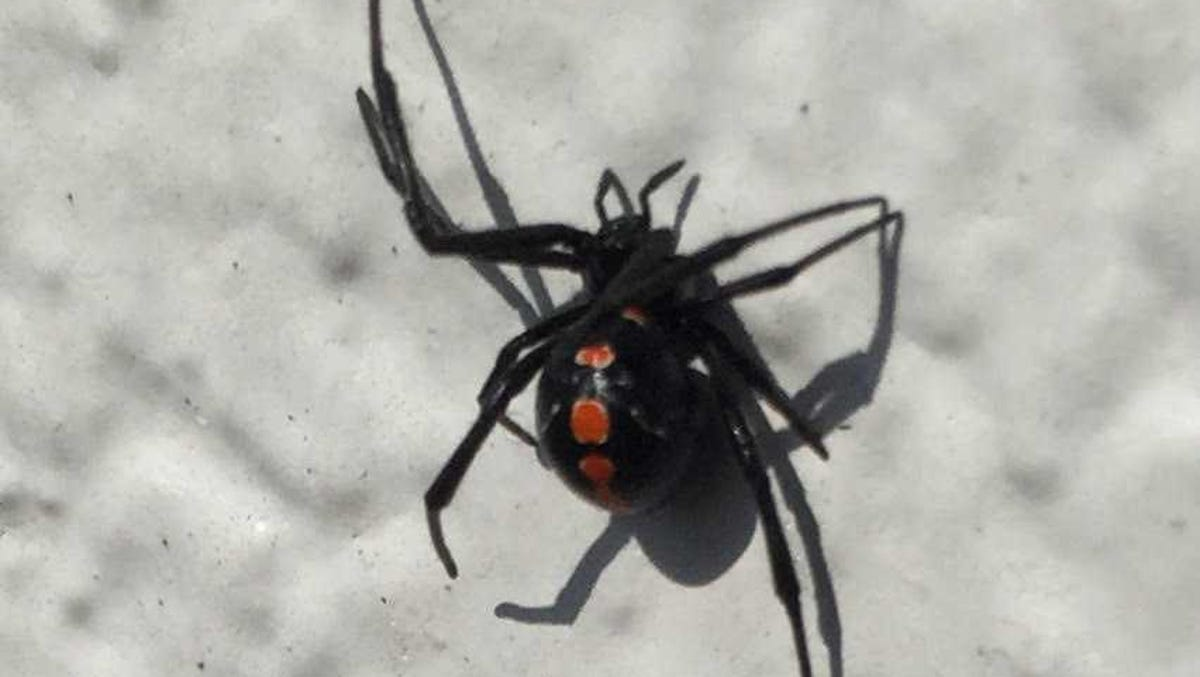 Don T Like All This Heat And Rain Neither Do Black Widow Spiders