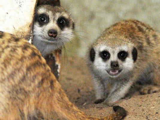 Brevard Zoo Meerkats n14.jpg