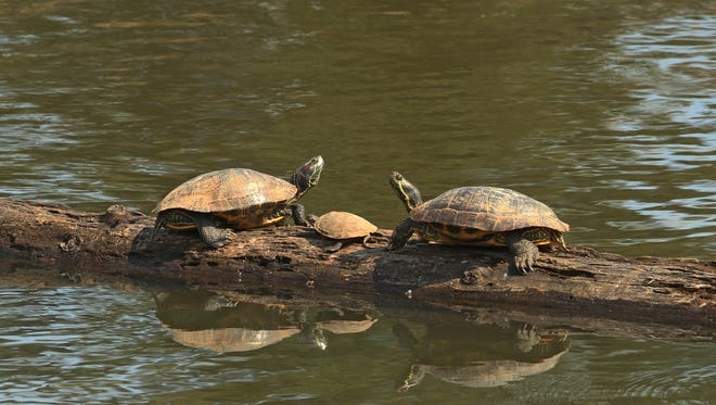 Two adult Western pond turtles watching over a smaller young turtle at Delta Ponds in Eugene.