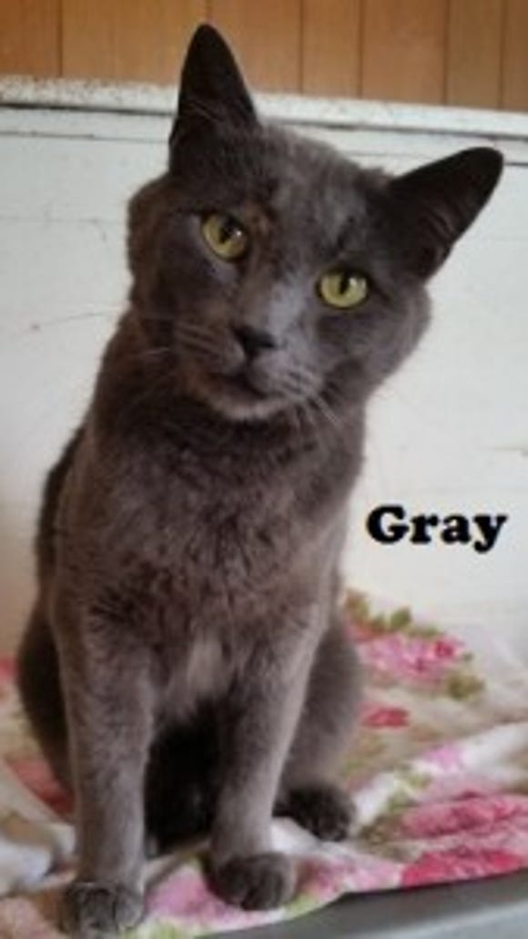 Gray can be timid at first, but very affectionate once he gets to know you.
