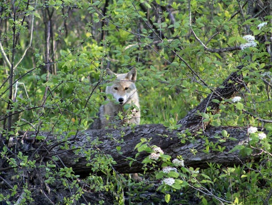 636307917883495299-coyote-on-belle-isle.jpg