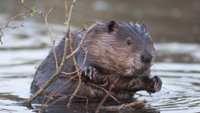 Scientists at Oregon State University have sequenced the genome of a beaver. The Beaver pictured is not Filbert, the beaver whose blood sample scientists used for the project.