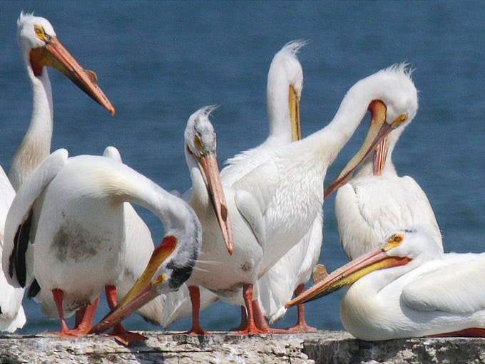 Pelicans rest and preen themselves, Tuesday, May 29,