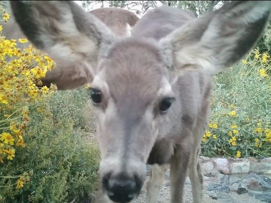 You might see flowers and wildlife at Cave Creek Regional Park. This fawn was photographed by a hidden camera at a watering hole there.