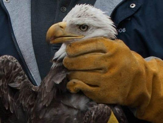 635602992806628085-Bald-Eagle-14-2406-1-