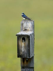 A tree swallow perches above it's nesting box at Benton Lake National Wildlife Refuge, Thursday, June 25, 2015.