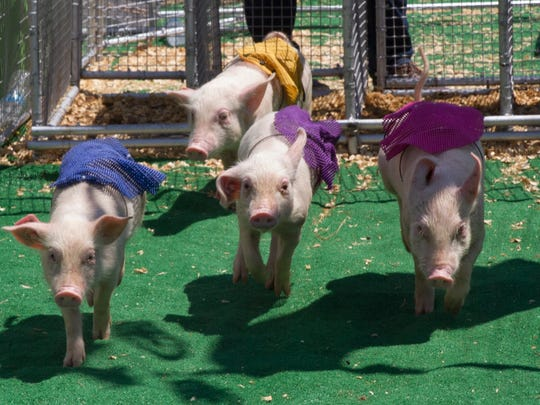 The pigs rush out of the gate during the first pig