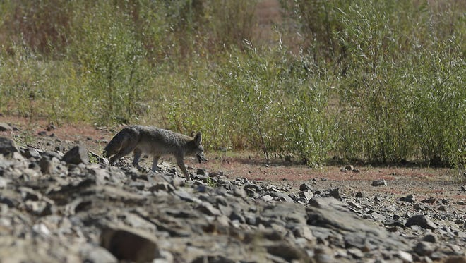 In this photo taken Oct. 6, 2014, a coyote crosses part of dry lake bed normally covered in water at Folsom Lake near Folsom.
