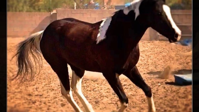 Tempe Police Department's new recruit is a 3-year-old Tobiano paint horse.